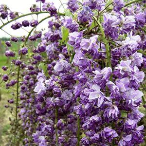 Wisteria Floribunda 'Violacea Plena'- Glycine Japonaise 'Violacea Plena' 50-60 cm en conteneur
