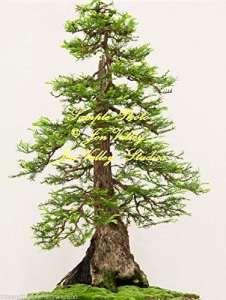 10 graines Sequoiadendron giganteum géant Sequoia arbre Graines Arbre standard ou Bonsai robuste