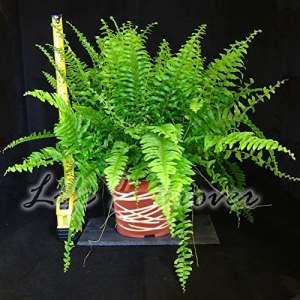 facile plantes–Maison de fougère de Boston en pot avec décoration métallique Ligne de joindre, 17cm Metallic Interweave Line Pot