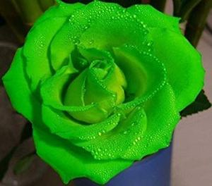 Farmerly 20X Dark Green European Rose Bush Seeds