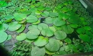 Lot de plantes flottantes–50Pièces–pour une pour aquarium ou bassin