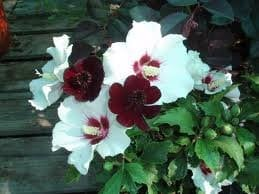 15 Red Heart Rose de Sharon Seeds