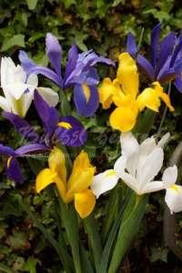 150 Iris de Hollande Mélange – Bulbes d'été – Livraison Gratuite