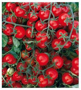 700 Aprox. – Graines de reine de la tomate cerise – Lycopersicum Esculenthum en emballage d'origine Produit en Italie – Tomates cerises