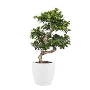 BOTANICLY | Plantes vertes d intérieur – Ficus avec cache-pot blanc comme un ensemble | Hauteur: 70 cm | Ficus