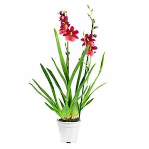FloraAtHome – Orchidée – Cambria Nelly Isler – 60cm env.