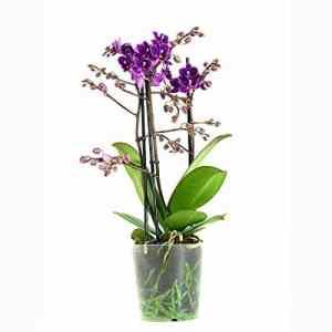 FloraAtHome – Orchidée – Phalaenopsis Multiflora Little Purple 3T – 40cm env.
