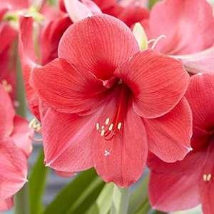 Hippeastrum Amaryllis Brazza–1 bulbe de fleur 26/28cm