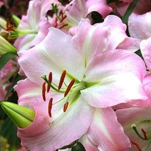 Lilium/Lys Oriental Joséphine – 3 bulbes de fleurs