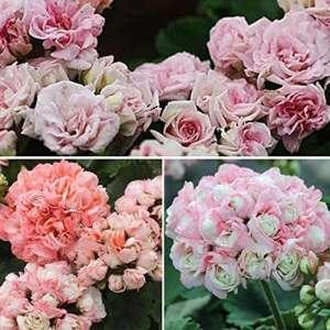 Ncient 10pcs/Sac Graines de Fleur Pelargonium, Pelargonium zonaleSeeds Bonsaï Plante En Pot Semences Vivaces de Maison Jardin Balcon