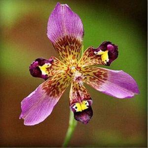 Neue 20 PC Seltene Orchideen-Blumen-Misch Iris Orchideen Zimmerpflanzen Schöne Hausgarten-Pflanzen der Bonsai Blumen Semillas (hu sterben lan) Hellpurpurner(GRAINES SEULEMENT)
