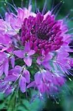 Violet clair SPIDER FLEURS (CLEOME) 25 graines – BOLD COLOR BRIGHT! Comb.S/H!