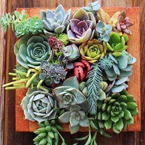 Wekold 50 Pcs Graines Bonsaï Mini Succulentes Graines Bonsaï Plant Graines Cactus & Succulentes