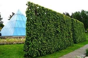Charmille – Charme commun – Haie de Charmille avec une hateur de 50-80 centimètre- marchandise de racine – 1000 plantes en remise – Carpinus betulus floranza® (1000)
