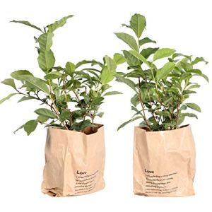 BOTANICLY   2 × Plante légume ou herbe – Théier   Hauteur: 30 cm   Camellia Sinensis