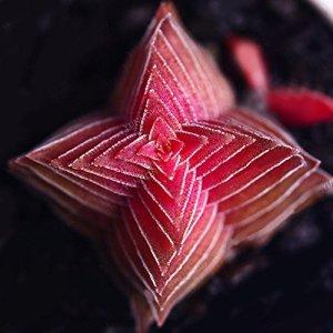 Foreverweihuajz Rouge et vert Crassula Buddha's Temple Graines plantes artificielles Bonsai Home Office Decor -100pcs Crassula Buddha's Temple Seeds Red