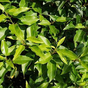 Prunus Lusitanica 'Angustifolia' (= 'Myrtifolia')- Laurier du Portugal 'Angustifolia' 30-40 cm en conteneur