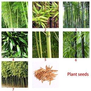 diaped Bambou Seeds, Graines de Bambou Noir Phyllostachys Moso Nigra Henonis Bambou Bambou Violet Graines-semences Maison et Décorations de Jardin