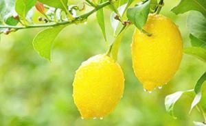 Arbre fruitier de citron organique jaune 20 graines pour planter intérieur/extérieur