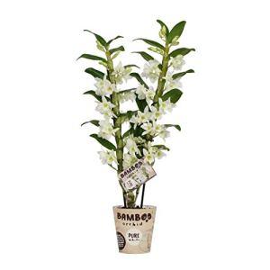 BOTANICLY | Bambou orchidée blanche | Hauteur: 50 cm | Dendrobium nobile 'Apollon'