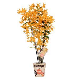 BOTANICLY | Bambou orchidée orange | Hauteur: 50 cm | Dendrobium nobile 'Firebird'