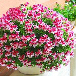 Cioler Seed House – Graines de géraniums parfumées rares Parfum de citron Graines de pélargonium Graines de fleurs pour les moustiques Anti-moustiques, mouches et moustiques