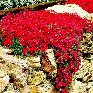 Soteer Seed House – Thym grimpant recouvert de sol de graine parfumée vivace herbe fleur pierre herbe pierre graine fleur résistante vivace