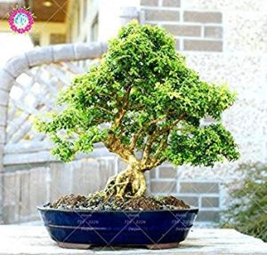 vegherb 20pcs à Feuilles persistantes d'ornement Boxwood Arbuste Bonsai Arbres Graines Boxwood Insectifuge Boxtree Jardin des Plantes Absorber Formaldéhyde
