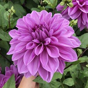 1 x Dahlia Décoratif Géant 'Arthur Hambley' – Bulbes d'Eté Vivaces – Tubercule – Fleur Violet Mauve