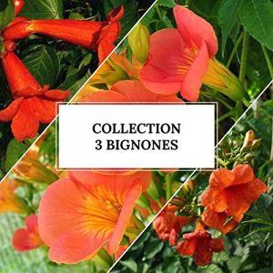Collection 3 Bignones (campsis)