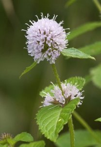 Mint, DE L'Eau (Menthe aquatique) Plante 50 plug plants violet