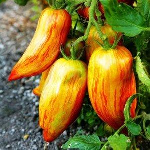 Cioler Seed House – 100 pièces de graines de tomates géantes biologiques Viande Graines de tomates Légumes Fruits Graines Vivaces à haut rendement vivaces pour balcon/terrasse