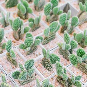 Creine 100Pcs Mini Graines De Fleurs Cactus (Astrophytum) Rares Plantes Succulentes Graines Jardin Graines