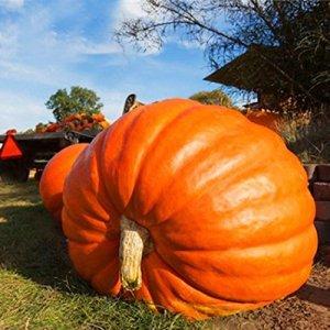 Soteer Seed House – Graines de citrouille géantes»Atlantic Giant» Graines de citrouille géantes rares semences de légumes biologiques résistants pérennes pour jardin balcon/terrasse