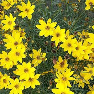 Raflesa Lot de 10 plants de coreopsis avec graines de tige, belles fleurs jaunes, plantes vivaces