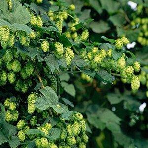 50 graines / paquet HOUBLON – Humulus lupulus – Graines – Brew votre propre bière Aujourd'hui – Retourne année après année – Plantes Formulaire Rhizomes