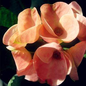 Clipss Rare Euphorbia Milii Hybrides Seeds Plantes Bonsaï en pot pour le jardin Graines