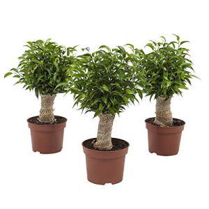 Plantes d'intérieur de Botanicly – 3 × Figuier pleureur – Hauteur: 35 cm – Ficus benjamina 'Natasja'