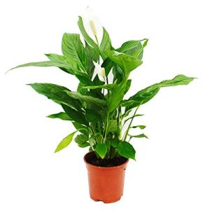Spathiphyllum »Cupido », feuille simple – pot de 17cm