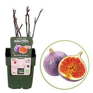 2x Ficus Carica»Perretta» | Figuier | Arbre fruitier | Hauteur 30-60cm | Pot Ø 12cm
