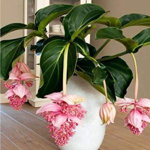 camellia® 100pcs / pack graines de fleurs de lanterne suspendues graines de pyréthroïde belles fleurs vivaces graines de fleurs pour le jardin de la maison de bricolage (aléatoire)