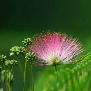 Jiacheng29 Lot de 100 graines de Fleurs d'Albizia pour Plantes vivaces en Pot, Graines, comme sur l'image, Taille Unique