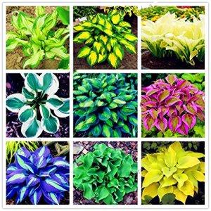 Jiacheng29 Lot de 100 graines de Plantes parfumées pour décoration d'ombres de Glace
