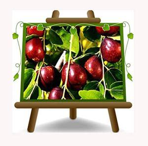 Jujube Poire lang Jujube – Plante de fruits vieux sur pot 26 – arbre max 170 cm – 4 ans