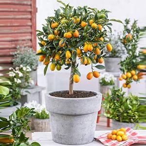 Kumquat | Citrus Japonica | Plante d'extérieur | Arbre fruitier | Hauteur 40-45cm | Pot Ø 15cm
