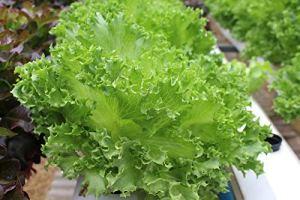 Laitue BIO»Salad Bowl» – semences certifiées biologiques