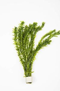 Lot de 10 tiges de plante oxygénante – Élodée dense pour bassin ou aquarium