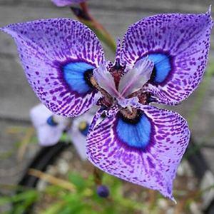 Luo-401XX 100 Pcs Iris Germanica Graines De Fleurs, Belle Facile Cultiver Bonsaï Balcon Plante Ornementale Pour La Maison Jardin Jardin Décoration Graines d'Iris Germanica