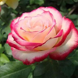 Luo-401XX 100pcs Parfumé Graines De Fleurs De Rose, Belle Facile Grandir Plante De Balcon De Bonsaï Pour La Maison Jardin Décoration Graines de rose