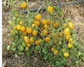 Tomate Yellow Submarine Détecteur bio
